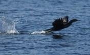 Flight of the Cormorant (Florida)