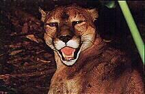 Puma, león de montaña