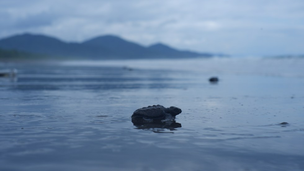 turtle release colombia