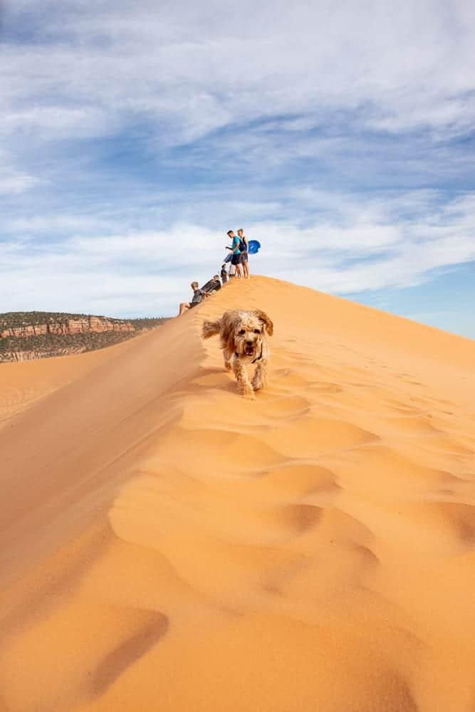 cavapoo running down sand dunes.