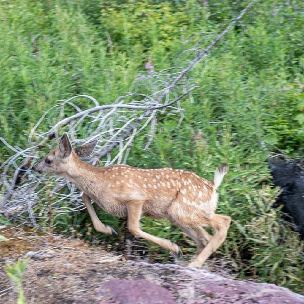 Fawn jumping on trail to St. Mary's fall Montana