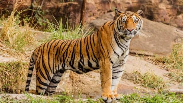 Índia alcança meta de livrar tigres da lista de espécies em extinção