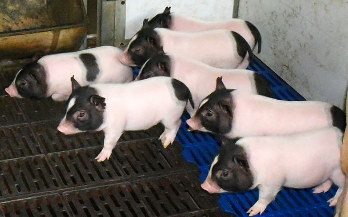 genetically engineered pigs with less body fat