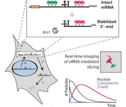 mRNA degradation