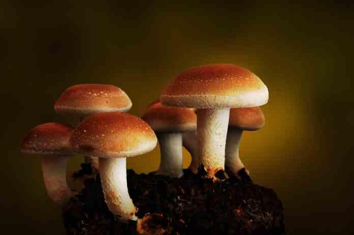 spinonews.com benefits with Mushrooms