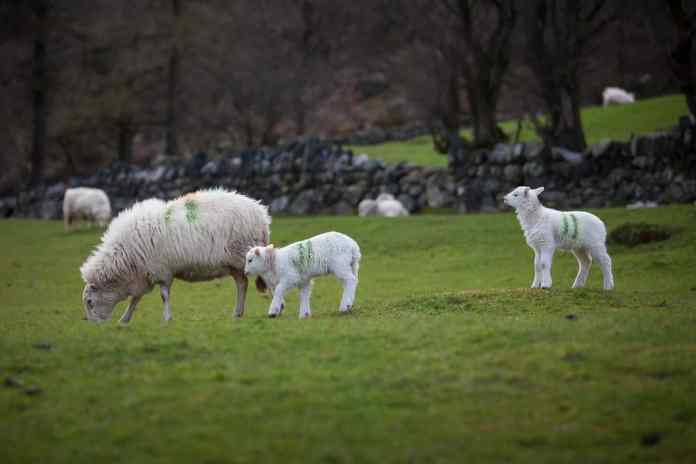 spinonews hybrid sheep embryo
