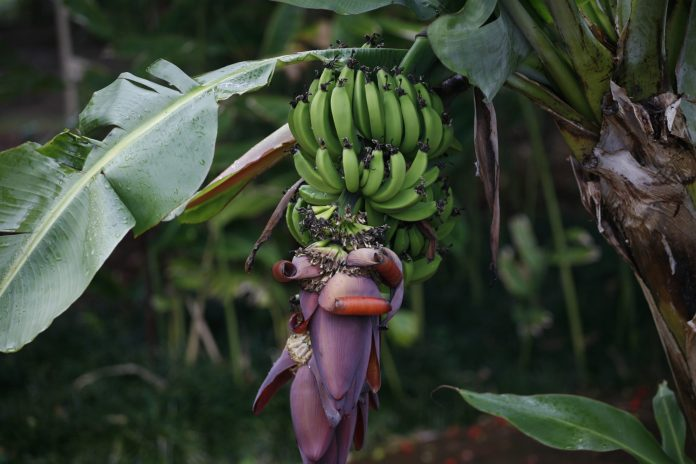 spinonews wild banana