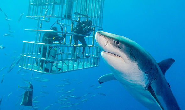 areflect Great white sharks