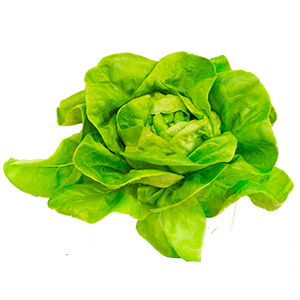 areflect lettuce