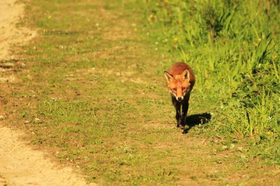 Foxy Walk