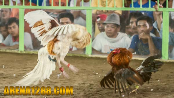 Daftar S128 Live Streaming Sabung Ayam Filipina