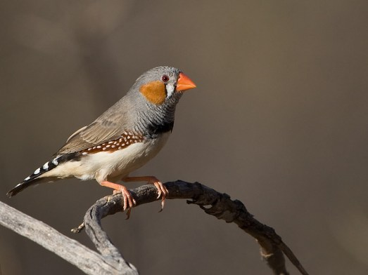 Zebra-Finch-Photos.jpg