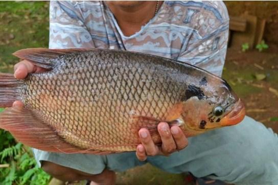Tips Usaha Ikan Gurame