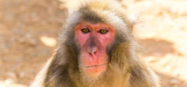 old monkeys may never wash their potatoes
