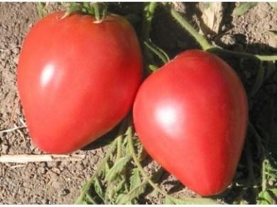 flor-tomate-corazon-de-buey-rosa-sobre-25-semillas
