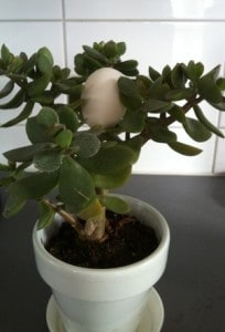 Äggplantan