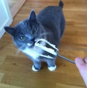 Grå katt äter grädde