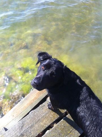 Svart hund på brygga på lantstället