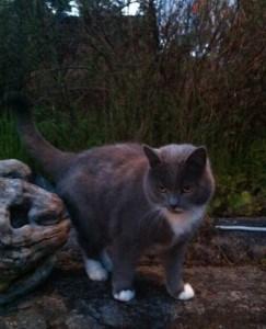 grå katt med vita tassar och vit mustasch
