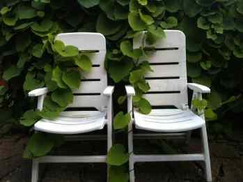 Vita stolar som växt fast i en klätterväxt