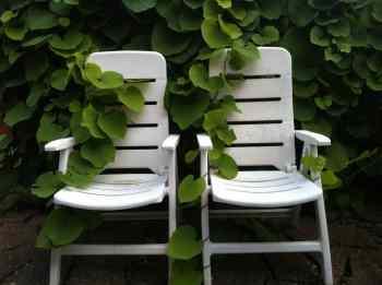 Att växa fast. Rolig bild på två stolar som växt fast i en klätterväxt.