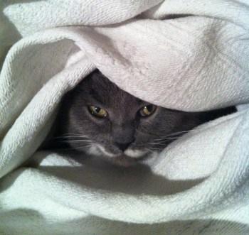 Grå katt inrullad i ett överkast