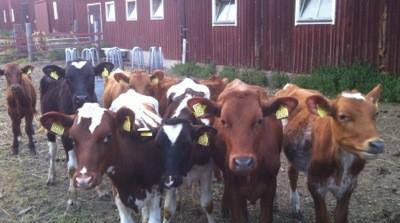 Kor och kalvar