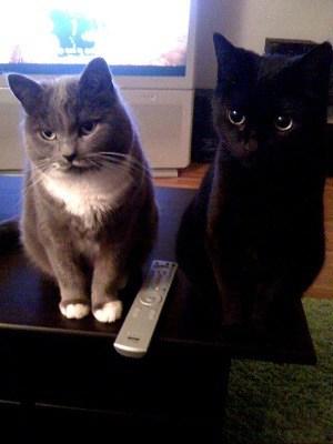 Katter, grå katt och svart katt