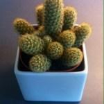 Kaktus akut omplanterad