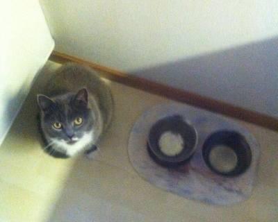 Grå katt vill ha mat