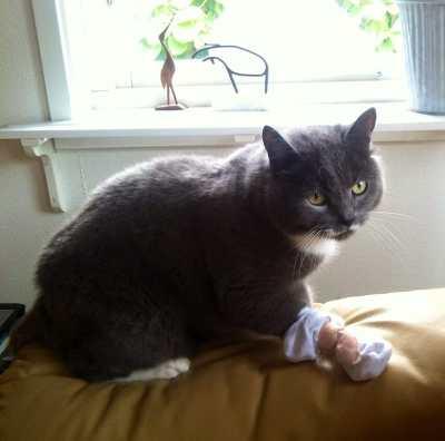 Grå katt med bandage på tassen. Rengjorde och satte en strumpa över tassen efter ett klobrott.