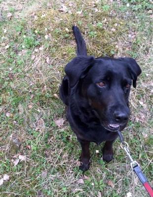 Hund, svart labradormix. Tog en vovve med på promenad!