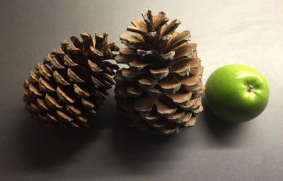 Kottar från pinjeträd