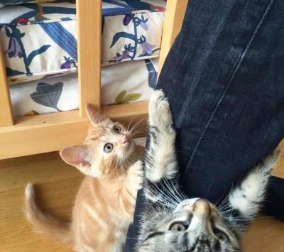 Orange katt leker
