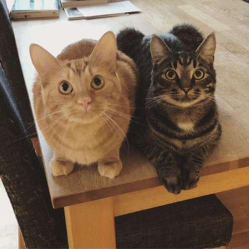 Grå katt och orange katt med M i pannan, Fjodor och Morris