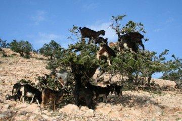 Argan olie og geder
