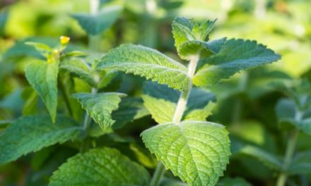 Peppermint Essential Oil- Uses and Benefits
