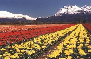tulipanes1