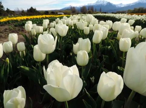 Tulipanes-02