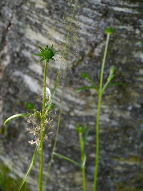 Devil's-bit scabious not yet flowering