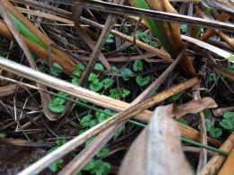 Lesser Celandine leaves