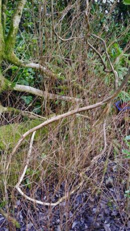 how the wild honeysuckle grows 1