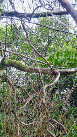 how the wild honeysuckle grows 2