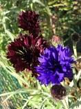 blue and black cornflowers