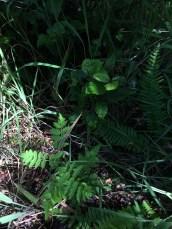 Tiny rowan tree and a beech behind it