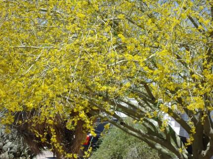 Palo verde in bloom