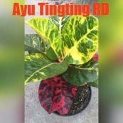 wpid-ayuting2.jpg