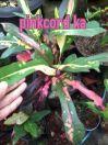 wpid-pinkcord.jpg