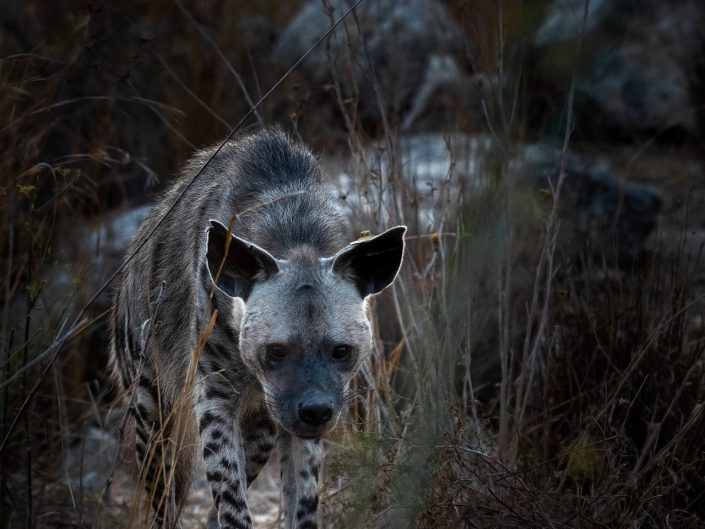 Ruthy the Striped Hyena - Ariel Fields