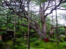A 700-year-old pine that has been manicured into the shape of Mt. Fuji.